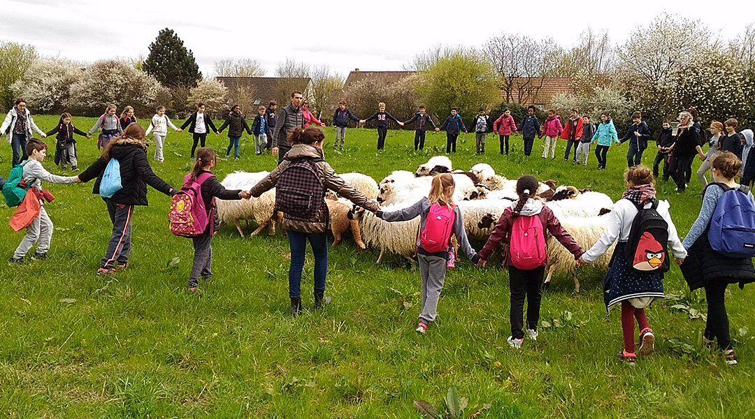 Moment avec les moutons du berger urbain Olivier Marcouyoux